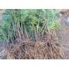 红豆杉种苗