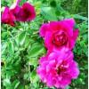 玫瑰润唇膏