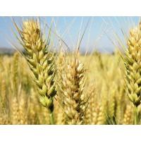小麦111