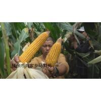 玉米1112
