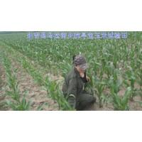 玉米实验田