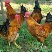 散养笨公鸡1斤