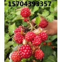 红树莓品种丰满红