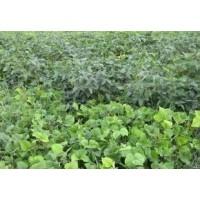 长期大量供应优质绿色有机杂粮绿豆 有机绿豆